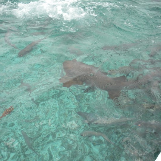 Shark Alley, Belize